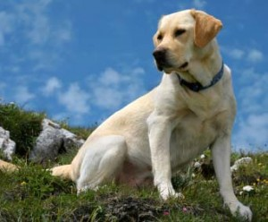 Labrador povaha